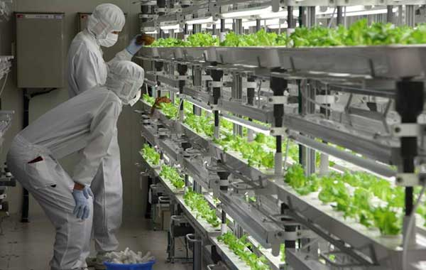 Fujitsu_lettuce