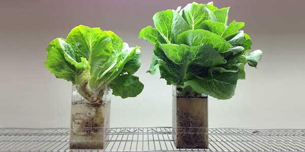 فوجیتسو نیز به پرورش و فروش سبزیجات آزمایشگاهی روی آورد!